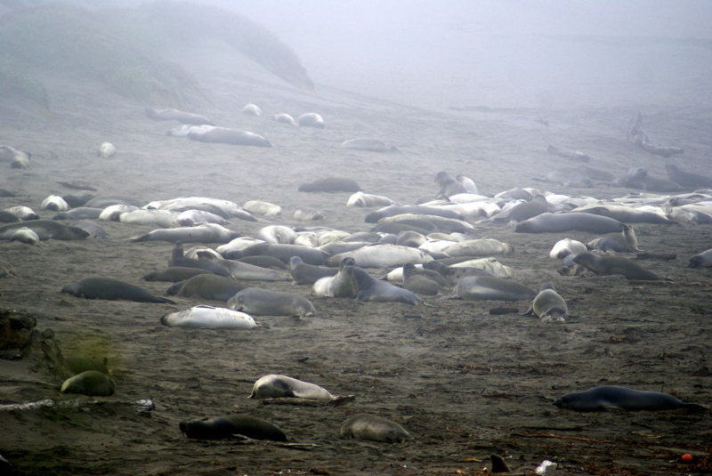 Sea Elephants in Big Sur